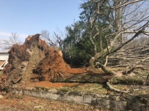 Large tree felled by strong winds possibly from a tornado near Cemetery Road this morning. (Melissa Moore/Warren County Emergency Management)